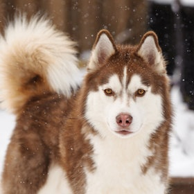 """""""Niko in the snow"""" by Jesse James Photography"""