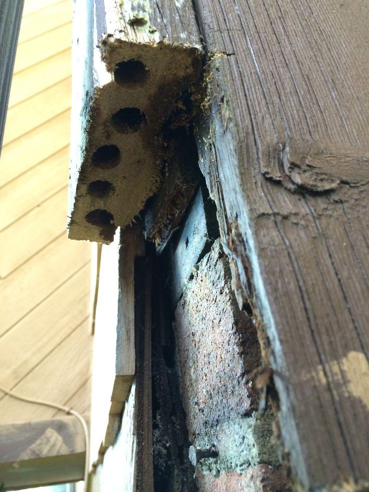 Carpenter bee damage in a 2 X 6