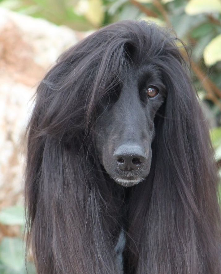 18 Elegant Afghan Hounds That Will Give You Some Serious