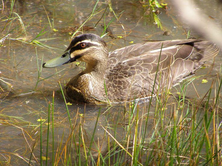Pacific Black Duck Photo D Wilks