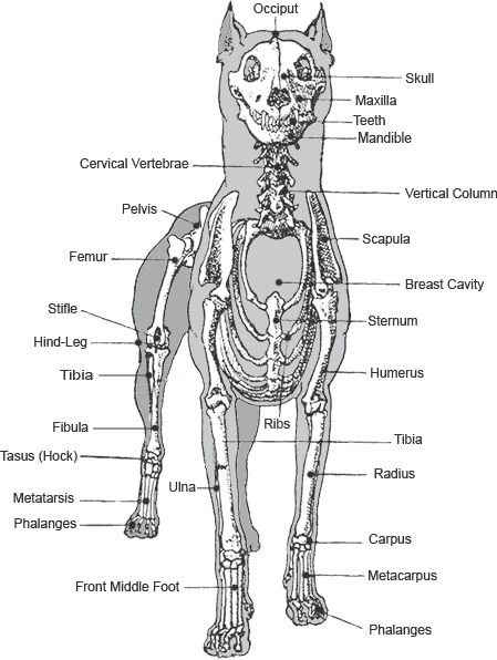 Skeleton of the Dobermann from the front
