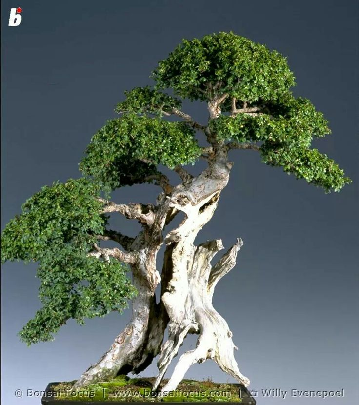 Bonsai  : More Pins Like This At FOSTERGINGER @ Pinterest