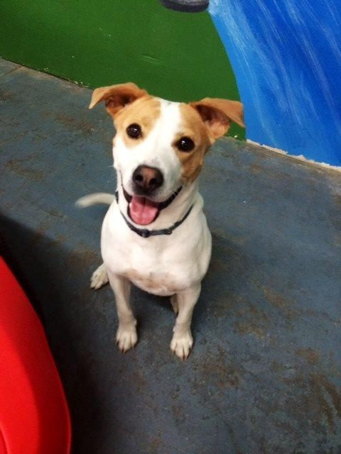 Meet Hardee, a Petfinder adoptable Canaan Dog Dog | Elmsford, NY | Hardee is such a happy boy & is in need of a forever home. He patiently waits to go on his walks,...