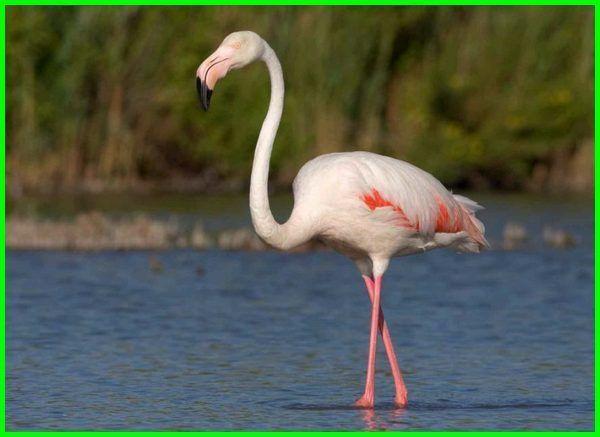 Jenis Hewan Yang Hidup Di Gurun Pasir Daftarhewan Com Daftarhewan Com Hewan Flamingo Pasir