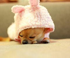 Cainii Chihuahua au nasul foarte scurt iar din acest motiv stranuta foarte des si sforaie atunci cand dorm.