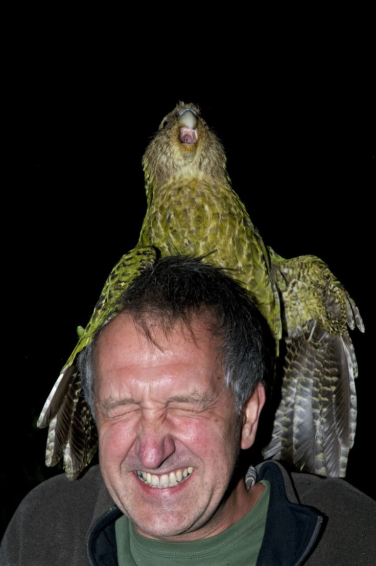 Sirocco the Kakapo, joyously attempting to mate with (and ...