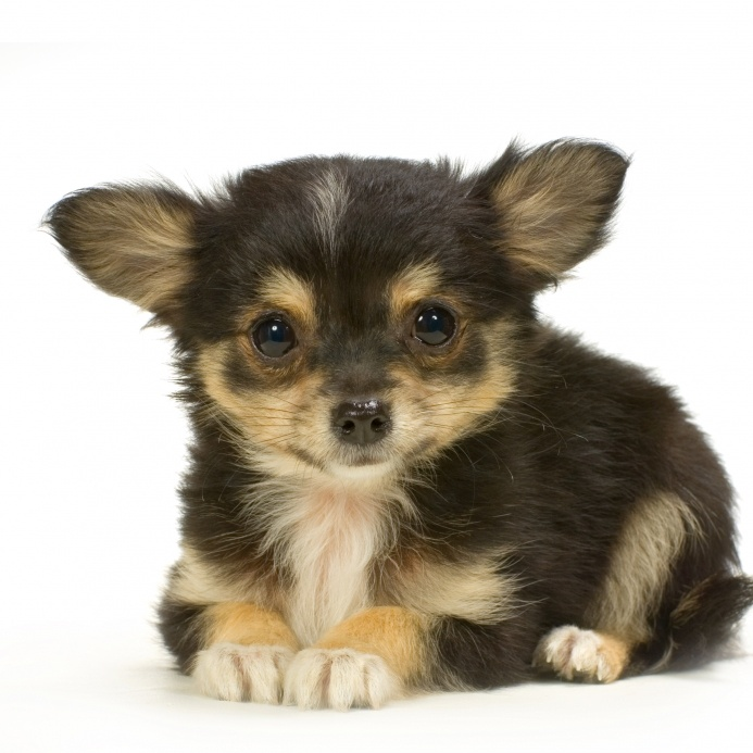 1000 ideas about long haired chihuahua on pinterest chihuahuas teacup chihuahua and - Foto poile ...