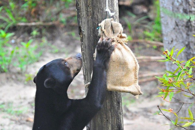 A bear enjoying some enrichment activities at our zoo internship programme in Malaysia http://www.oysterworldwide.com/gap-year/zoo-assistant-internship-in-malaysia/