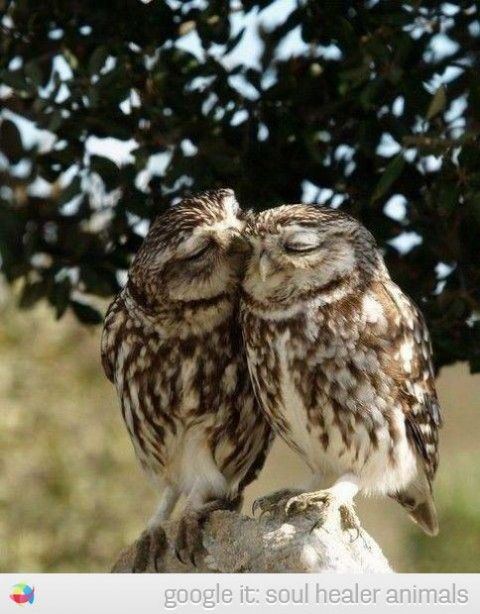 owl couple kiss cute picture soul healer animals