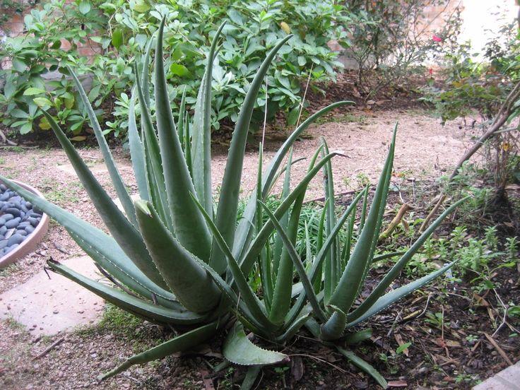 48 best images about cactus garden on pinterest gardens for Indoor gardening diana yakeley