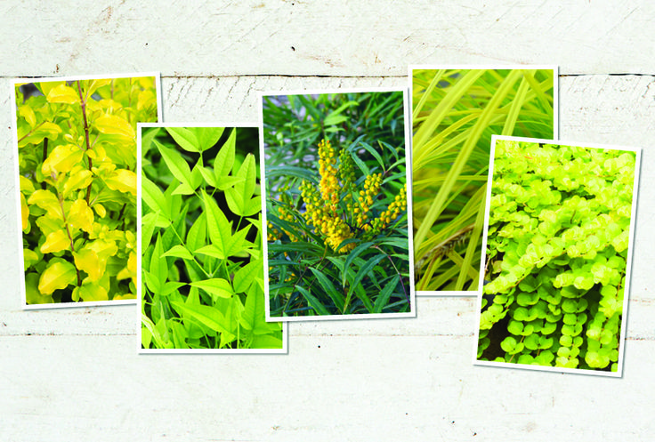 Looking for border plants with striking foliage color or texture? We have 5 suggestions.