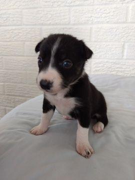 Litter of 8 Border Collie puppies for sale in PLATTSBURG, MO. ADN-45133 on PuppyFinder.com Gender: Female. Age: 3 Weeks Old