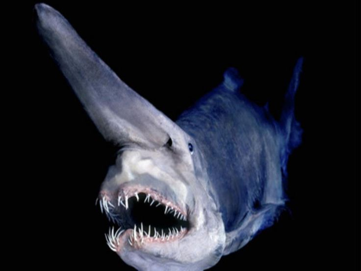 This is the goblin shark, a bizarre and rarely spotted creature found in water deeper than 200m throughout the world.  Very little is known about their life history or reproduction, as encounters with them in their native habitat are incredibly rare. Most specimens are dragged up by deep sea fishers.  They are famous for their strangely shaped heads - they have snouts much longer than any other shark, and retractable jaws.