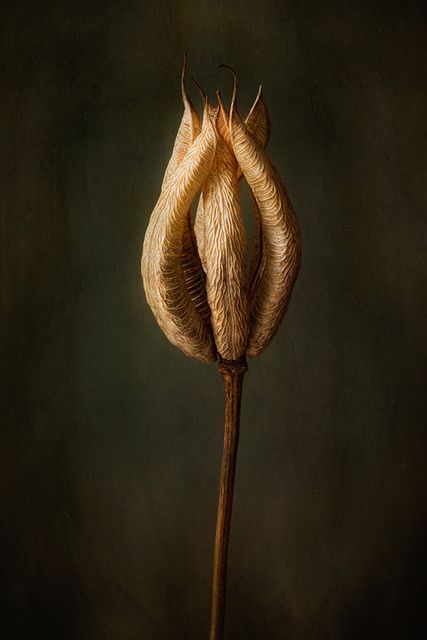 Seed Pod by Mandy Disher, via Flickr