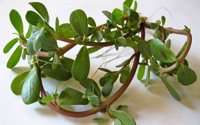 Γλιστρίδα: Το θεραπευτικό φυτό που έχει ιστορία τουλάχιστον 2000 χρόνων
