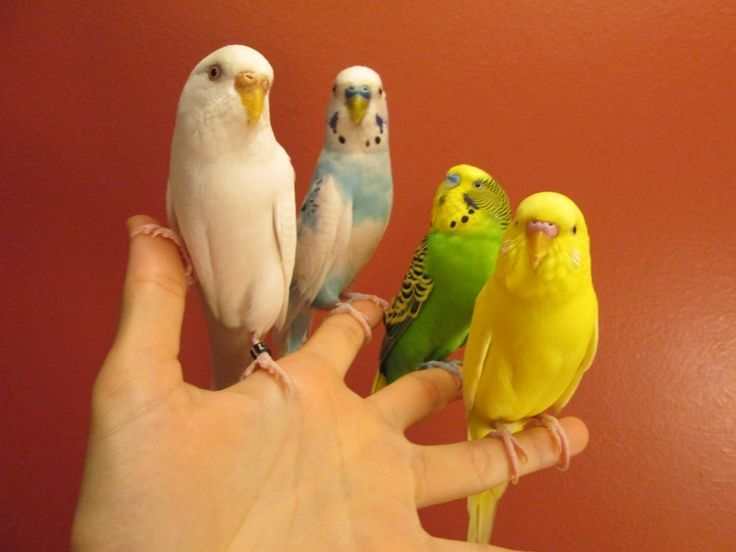 Find out how to quickly and easily finger train a wild parakeet in a few simple steps.