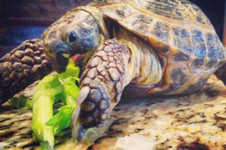 Mr. T. Our Russian Tortoise.