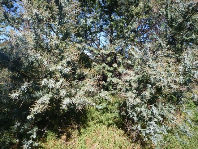 Granny's wattle tree