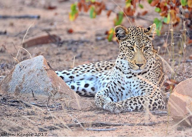 "A snippet from our Ranger's Diary by @stefan_kruger_photo ""Shongile meaning BEAUTIFUL is by far the most beautiful Leopardess I have ever seen. She is also by far the most relaxed Leopard we have around in this area and is often seen in the Northern section of our traversing. She has recently had a cub but unfortunately the cub was killed by another Leopard. We all believe that it was Ntima that had killed her cub as male Leopards have numerous reasons for doing this. It could be that she…"