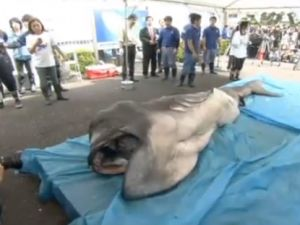 Rare megamouth shark captured off Shizuoka,Japan, providing onlookers with a glimpse of the prehistoric-looking creature. The capture of the 13-foot female megamouth late last month was not widely reported, but it was an extremely rare event. About 1,500 people showed at the Marine Science Museum in Shizuoka City to witness the autopsy, which might help scientists learn more about the mysterious sharks.