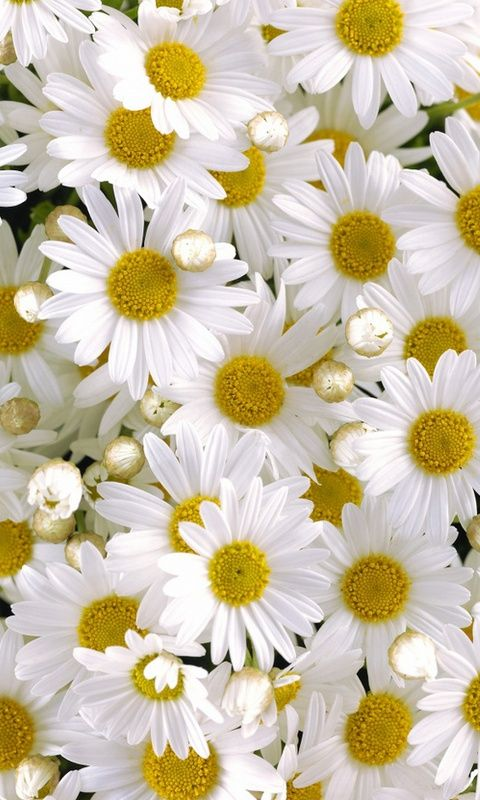 Download 480x800 «Daisy» Cell Phone Wallpaper. Category: Flowers