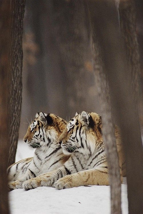 Two Siberian Tigers at Rest                                                                                                                                                     More