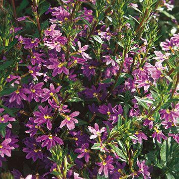 Fan flower (Scaevola aemula)    With pot-bursting vigor, this Australian native develops cascades of lavender-blue flowers.