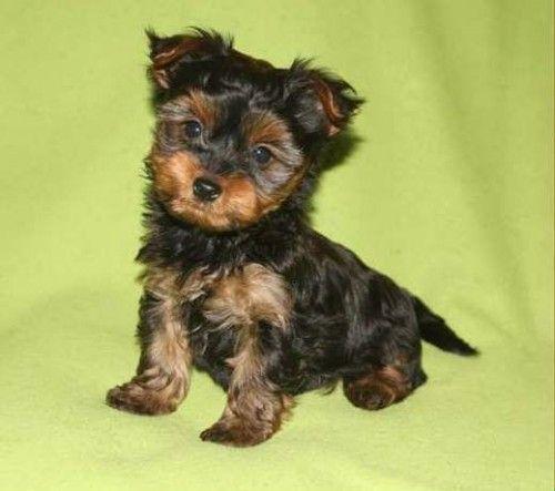 È disponibile un cucciolo maschio di Yorkshire di taglia piccola, nato il 19/02, genitori visibili. Dolce e vivace… tutto da coccolare! Costo: 650 € Contatto telefonico: 3396143916 Il cuccio...