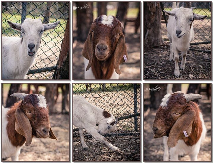 Oops it's late... but I wanted to highlight two lovely goats who's tenders run out tomorrow and I'd hate to see them go to the wrong people. They are at Renbury Farm Animal Shelter and details are linked below in the comments. Please share and help find s | by Jo Lyons Photography