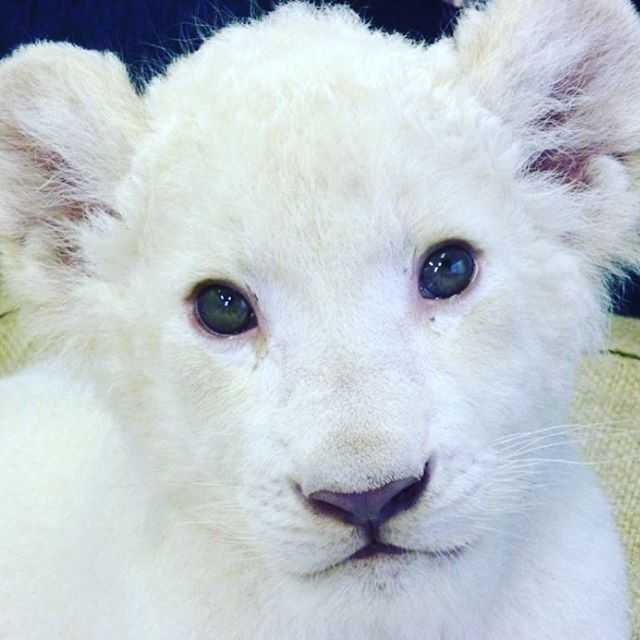 hcpsafari ホワイトライオン双子の赤ちゃん、名前募集明日までです♪ 園内の投票箱よりご応募下さい。 素敵なお名前、お待ちしております♡ #姫セン #ホワイトライオン #名前募集 #himejicentralpark  #whitelion  #instazoo  #instanimal Himeji Central Park 2017/07/30 18:27:02