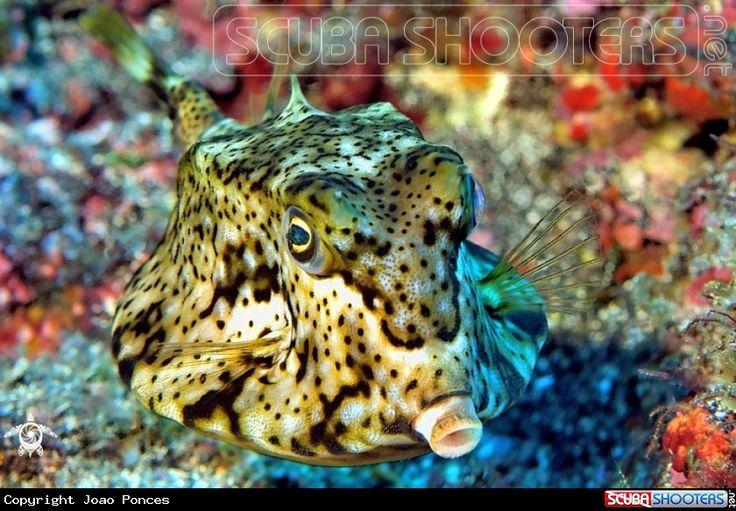 Boxfish in Hachijojima - Tokyo - Japan