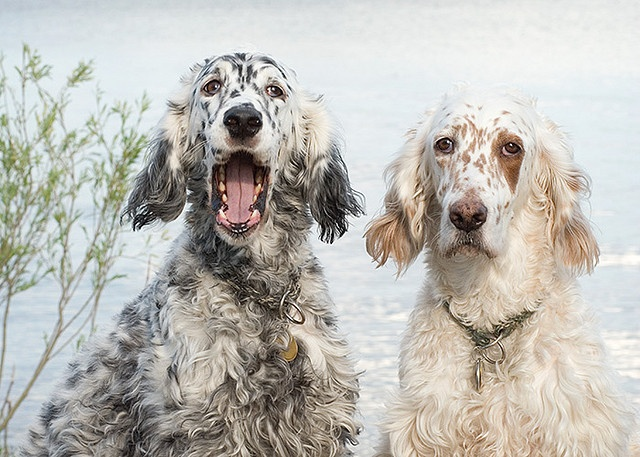 Sister, we are on flickr! two english setters