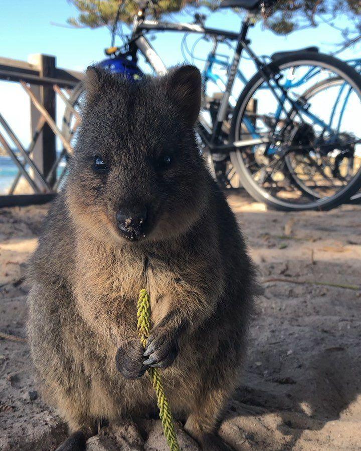 When The Milo Crave Comes In Rotto Rottnest 9gag Memes Quokka Perth Wa Au Westernaustralia