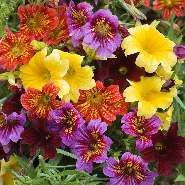 Salpiglossis sinuata 'Royale Mixed' (Garden ready) - Exotic Plants - Van Meuwen