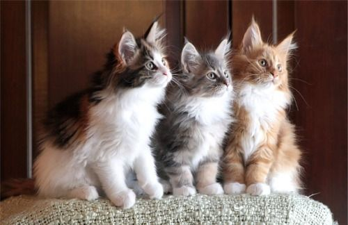 maine coon <3  The one in the middle looks like Fionna.  But she isn't a Maine Coon.