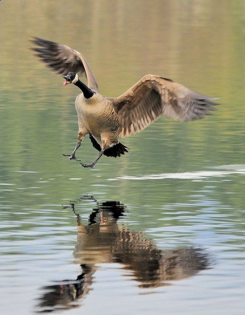 Canada Goose - they come in so fast and strong that you think theyll crash into the water - but at the last second hit the air brakes and settle into the water with hardly a ripple - Amazing.