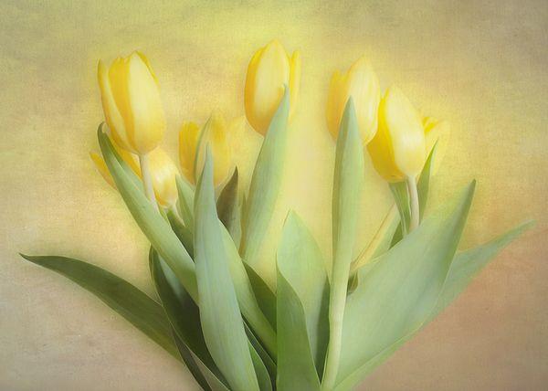 Soft Yellow Tulips
