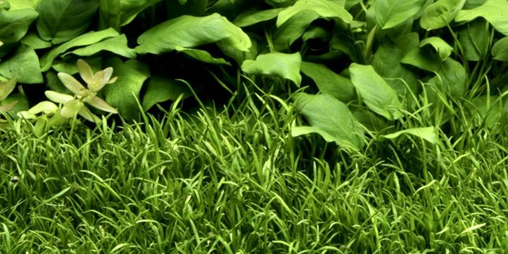 Online store of carpet aquarium plants, lilaeopsis, micro sword, aquarium plants