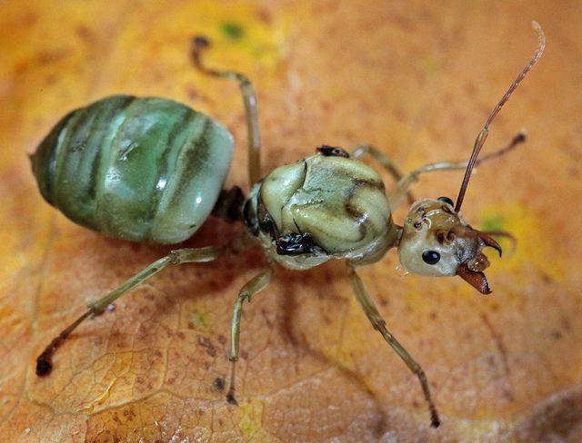 green ant Queen... A queen ant is an adult, reproducing female ant in an ant colony..Queen ants have one of the longest life spans of any known insect .. up to 28 years in captivity