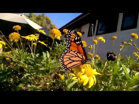 Beautiful Monarch Butterfly at the house of the Butterfly Lady