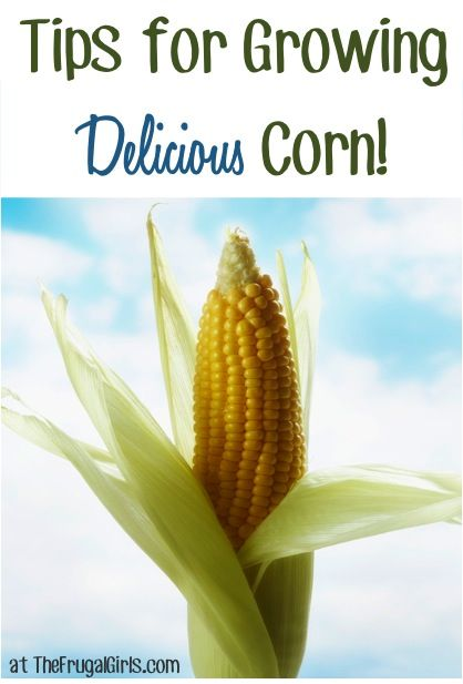 14 Tips for Growing Delicious Corn! ~ from TheFrugalGirls.com #gardening