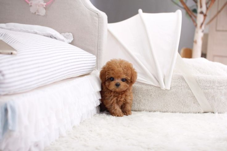 SOLD - Micro Teacup Poodle Female   ITSY PUPPY   Teacup & Microteacup Puppies for Sale   ITSY PUPPYITSY PUPPY   Teacup & Microteacup Puppies for Sale   ITSY PUPPY