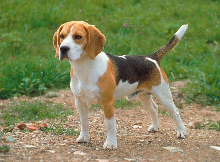 Beagle im Rasseportrait