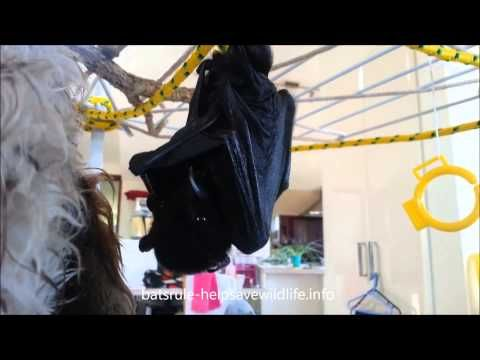 bat, megabat black baby, flying fox, fruit bat 01122013 - YouTube