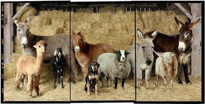 Rob MacInnis: farm animal portraits