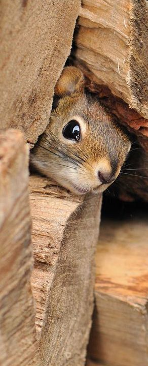 Peeking out from behind the woodpile