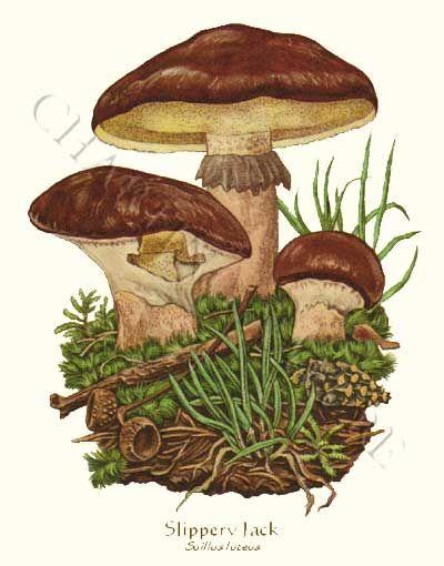 'Slippery Jack' restored antique mushroom illustration - via Charting Nature