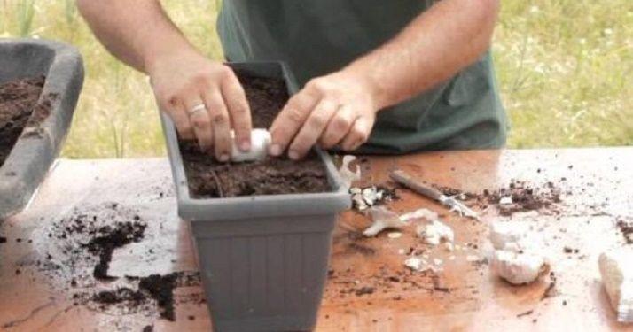 É muito fácil plantar alho em casa. E, se as pessoas soubessem disso, deixariam de comprar o alho quase sempre velho vendido nos supermercados. Afinal, todo vegetal plantado em casa é muito mais fresco e, por conseqência, muito mais saudável e saboroso.