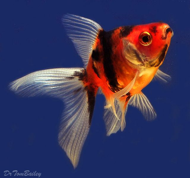 Fantail goldfish for sale goldfish for Outdoor goldfish for sale