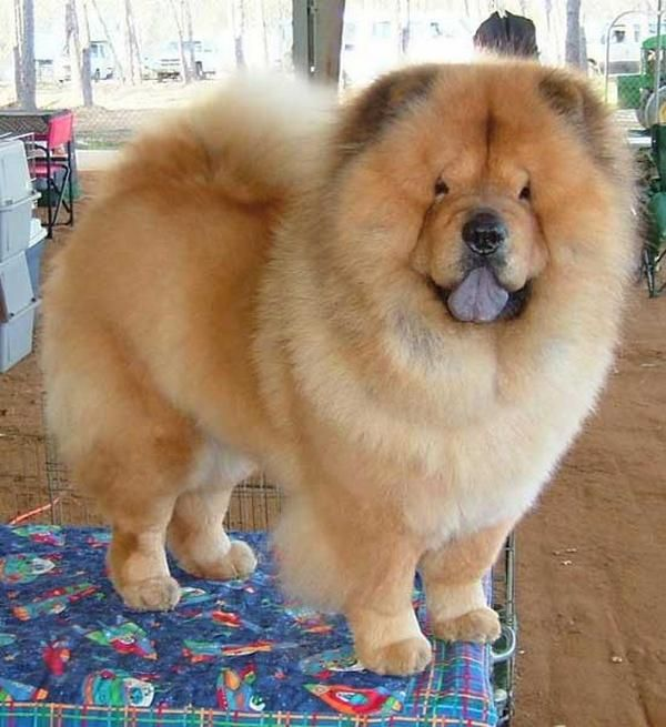 Chow chow is developed in China. Chows are an aggressive breed, fiercely protective of their people and property and should only be adopted by experienced dog owners who have the time and energy to devote to proper training and socialization. His highest price is $8,500!